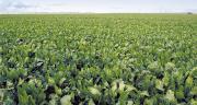 """L'usine à """"photosynthèse"""" est en place pour permettre la concentration en sucre."""