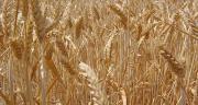 La teneur minimale en protéines du blé est essentielle.