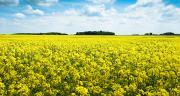 Temptation et Duplo bénéficieront de l'expertise de la protection des plantes colza du réseau de ventes BASF et du support de ses outils promotionnels terrain. Photo : M.Barbier/Pixel6TM