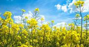 Saipol souhaiterait relever le taux d'huile lié au prix de base pour les achats de colza de 40 à 42%. Photo : M. Barbier/Pixel image