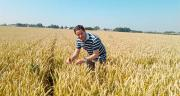 Avec d'autres chercheurs, le Dr Ali Siah travaille sur des extraits de betterave afin de lutter contre la septoriose du blé. CP : DR