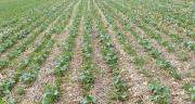 La poursuite de l'embellie des prix du colza pourrait encourager les producteurs  à augmenter leurs emblavements lors de la prochaine campagne. Photo : Terres Inovia