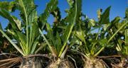 Pour lancer la production de sucre bio sur le site d'Erstein, Cristal Union doit réunir au minimum 250 ha de betteraves bio dans un rayon de 150 km. CP : Matauw/Adobe Stock
