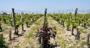 Pour Agathe Olive, chargée de projet chez Agri Sud-Ouest Innovation, la viticulture est la filière la plus en avance en Nouvelle-Aquitaine sur les biosolutions. Photo : Benjamin Hardy/Adobe Stock
