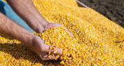 À la Tricherie, les rendements 2019 en maïs s'annoncent comme les pires de l'histoire de la coop suite au manque d'eau, identiques à 2016. CP : oticki /Adobe Stock.