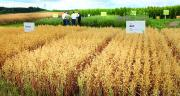 Au total, une centaine de variétés sont testées sur la plateforme expérimentale de BayWa. Photo : BayWa