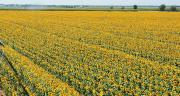 Cette année, la CAC a récolté 460 ha de tournesol semences. Photo : CAC