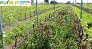Dix propriétés viticoles girondines sont maintenant engagées dans le réseau Dephy d'Euralis. Photo : R. Poissonnet/Pixel image