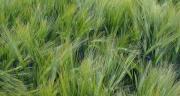Découvrez les nouvelles variétés de blé dur, seigle et triticale pour les semis d'automne 2016. Photo : S.Bot/Pixel image