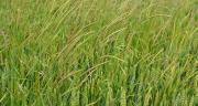 BASF, Certis, Dow, FMC et UPL devraient obtenir prochainement de nouvelles homologations d'herbicides et fongicides céréales. Photo : S.Bot/Pixel image