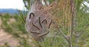 Des chercheurs de l'Inra ont mis en place une lutte alternative contre la chenille processionnaire du pin à l'aide de paintball. Photo : Bruno Bernier-Fotolia