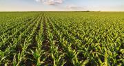 En 2017, les surfaces de maïs grain ont baissé de 4%. ©Oticki/Fotolia
