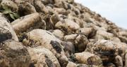 Lors de la campagne 2016, les neuf sucreries de Tereos vont transformer 15 millions de tonnes de betteraves, récoltées sur une surface de 180000 hectares. Photo : Agata Kowalczyk-Fotolia