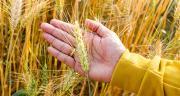 Semences certifiées de céréales à paille: l'érosion des ventes devrait se poursuivre. © Thannaree/fotolia