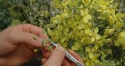 Chaque année, 2 000 croisements sont réalisés manuellement au sein du programme chou-fleur à l'OBS. D. Bodiou/ Pixel image