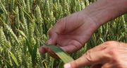 En se basant sur 167 essais, BASF indique que la nuisibilitée ajustée est de 14, 2 q/ha en blé en 2019. CP : BASF