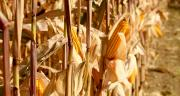 Les maïs Sem'Expert Dry sont récoltés à maturité et ne nécessitent pas de séchage. Photo : Pioneer