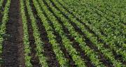 120 adhérents de Terre comtoise cultivent du soja, ce qui représente une surface de 1000 hectares. Photo : L. Jung-Cetiom