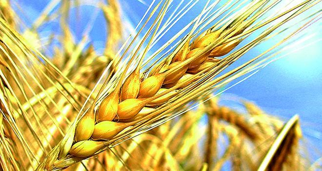 Découvrez les chiffres clés de la filière céréales dans les nouvelles régions. Photo : Fotolia