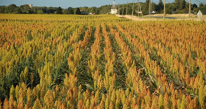 Maxime Barbier/Deux variétés de sorgo grain et de sorgho ensilage devraient être inscrits en 2019.