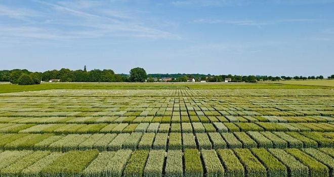 La nouvelle entité Asur Plant Breeding est l'obtenteur qui a inscrit le plus de variétés en blé tendre d'hiver depuis trois ans. CP : Saaten-Union