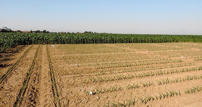 Les maïs ultra-précoces produisent de 7 à 12 tonnes de matières sèches en 120 jours selon KWS. Photo : KWS