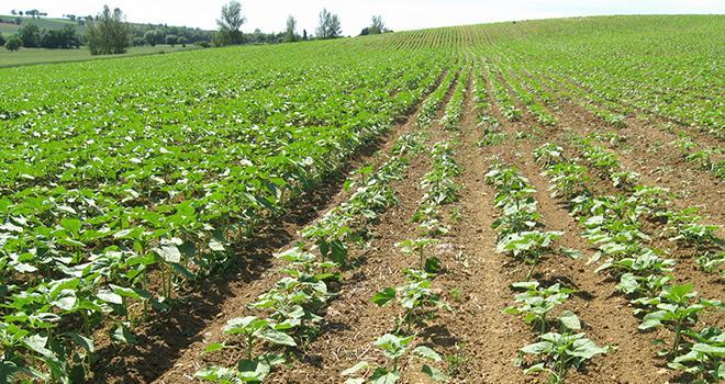 La fertilisation liquide localisée sécurise la mise en place de la culture et son potentiel. À gauche, tournesol avec apport d'engrais liquide 14-48, à droite sans apport localisé au semis. Photo : AGRO D'OC