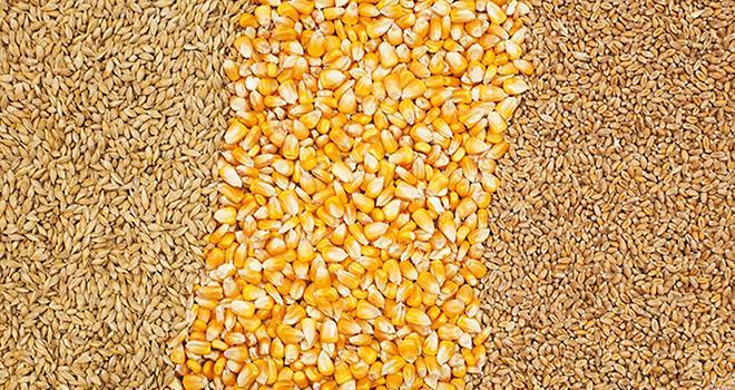 Les surfaces de multiplication de maïs et de céréales à paille sont en baisse. © Freestocker/Fotolia