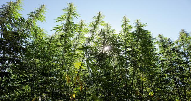 Des premiers essais de cannabis bien-être ont été effectués cette année pour la production de chanvre CBD. Photo : Chanvr' Bio Détente