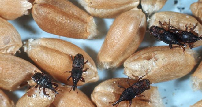Les sondes EWD détectent précocement les insectes (ici des charançons). CP : Systelia