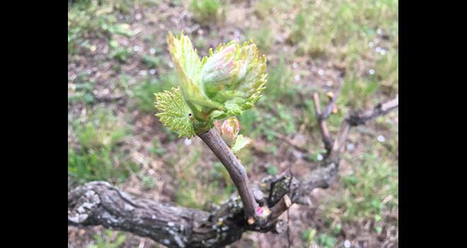 En cette fin du mois de mars, la vigne redémarre lentement. Les vignerons continuent de travailler, tout comme les technico-commerciaux des distributeurs. Photo : S.Favre/Média et Agriculture