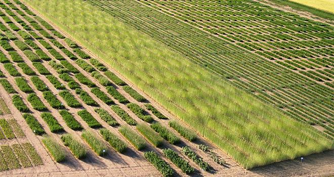 Les variétés tolérantes aux herbicides obtenues par mutagenèse ne sont pas considérées comme relevant de la directive OGM. CP : UFS